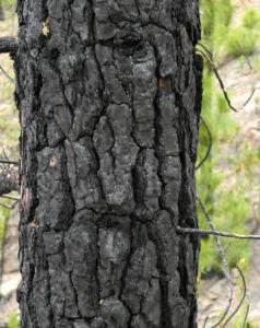 Kanarische Kiefer Stamm Rinde Pinus canariensis 09