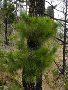 Kanarische Kiefer Stamm Rinde Pinus canariensis 10