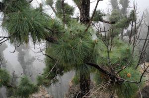 Kanarische Kiefer Stamm Rinde Pinus canariensis 11