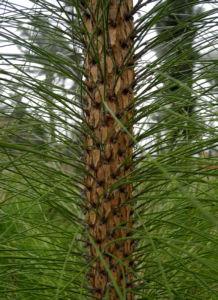 Kanarische Kiefer Stamm Rinde Pinus canariensis 12