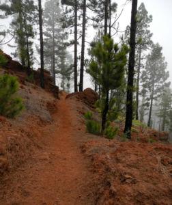 Kanarische Kiefer Stamm Rinde Pinus canariensis 15