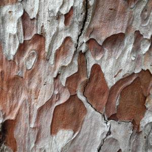 Kanarische Kiefer Stamm Rinde Pinus canariensis 16