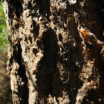 Bild: Kanarische Kiefer Stamm Rinde braun schwarz Pinus canariensis