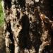 Zurück zum kompletten Bilderset Kanarische Kiefer Stamm Rinde braun schwarz Pinus canariensis