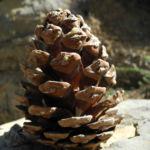 Kanarische Kiefer Zapfen braun Pinus canariensis 01