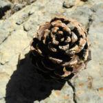 Kanarische Kiefer Zapfen braun Pinus canariensis 03