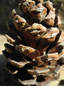Kanarische Kiefer Zapfen braun Pinus canariensis 04
