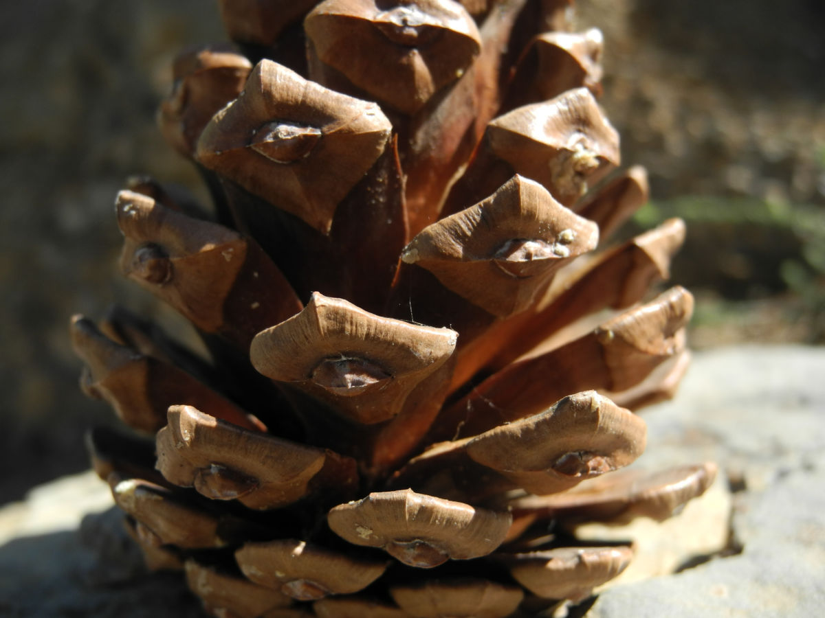 Kanarische Kiefer Zapfen braun Pinus canariensis