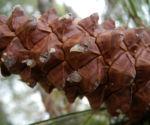 Bild: Kanarische Kiefer Zapfen braun Pinus canariensis