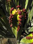 Kanarische Wolfsmilch Bluete rot Euphorbia canariensis 08