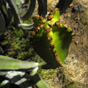Kanarische Wolfsmilch Staengel gruen Euphorbia canariensis 07