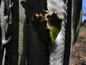 Kanarische Wolfsmilch Staengel gruen Euphorbia canariensis 09