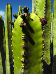 Kanarische Wolfsmilch Staengel gruen Euphorbia canariensis 11
