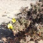 Kanarischer Druesenginster Bluete gelb Adenocarpus foliolosus 04
