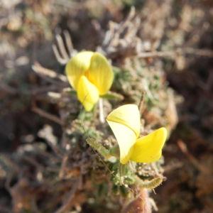 Kanarischer Druesenginster Bluete gelb Adenocarpus foliolosus 06