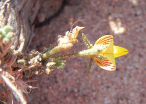 Kanarischer Druesenginster Bluete gelb Adenocarpus foliolosus 11