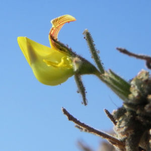 Kanarischer Druesenginster Bluete gelb Adenocarpus foliolosus 14