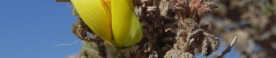 kanarischer-druesenginster-bluete-gelb-adenocarpus-foliolosus