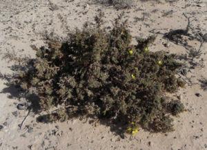 Kanarischer Druesenginster Bluete gelb Adenocarpus foliolosus 24