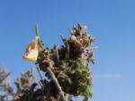 Bild: Kanarischer Drüsenginster Blüte gelb Adenocarpus foliolosus