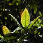 Kanarischer Schneeball Blatt gruen Viburnum tinus 03