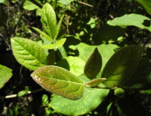 Kanarischer Schneeball Blatt gruen Viburnum tinus 07