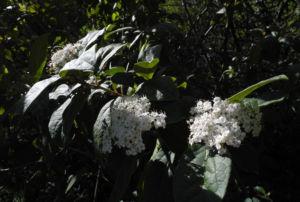 Kanarischer Schneeball Bluete weiß Viburnum tinus 00