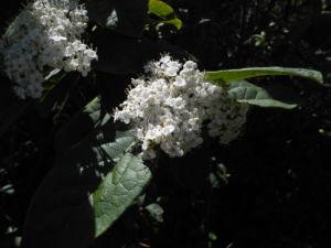 Kanarischer-Schneeball Blüte weiß Viburnum tinus