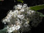 Kanarischer Schneeball Bluete weiß Viburnum tinus 02