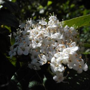 Kanarischer Schneeball Bluete weiß Viburnum tinus 09
