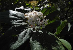 Kanarischer Schneeball Bluete weiß Viburnum tinus 10