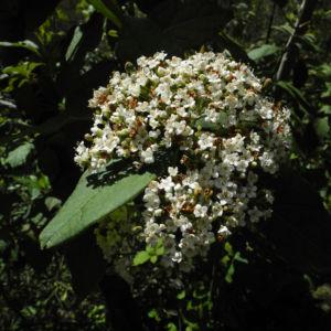 Kanarischer Schneeball Bluete weiß Viburnum tinus 13