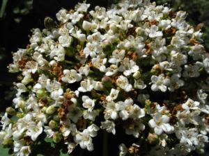 Kanarischer Schneeball Bluete weiß Viburnum tinus 14