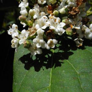 Kanarischer Schneeball Bluete weiß Viburnum tinus 15