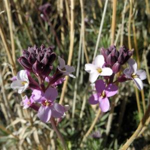 Kanarischer Schoeterich Bluete pink Erysimum scoparium 01