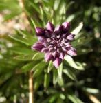 Kanarischer Schoeterich Bluete pink Erysimum scoparium 05