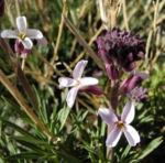 Kanarischer Schoeterich Bluete pink Erysimum scoparium 06