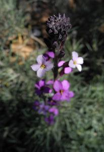 Kanarischer Schoeterich Bluete pink Erysimum scoparium 17