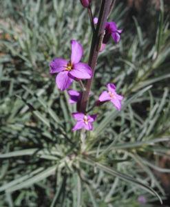 Kanarischer Schoeterich Bluete pink Erysimum scoparium 18