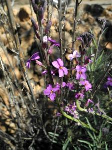 Kanarischer Schoeterich Bluete pink Erysimum scoparium 19