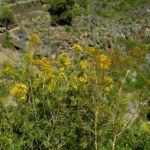 Kanarisches Johanniskraut Bluete gelb Hypericum canariensis 02