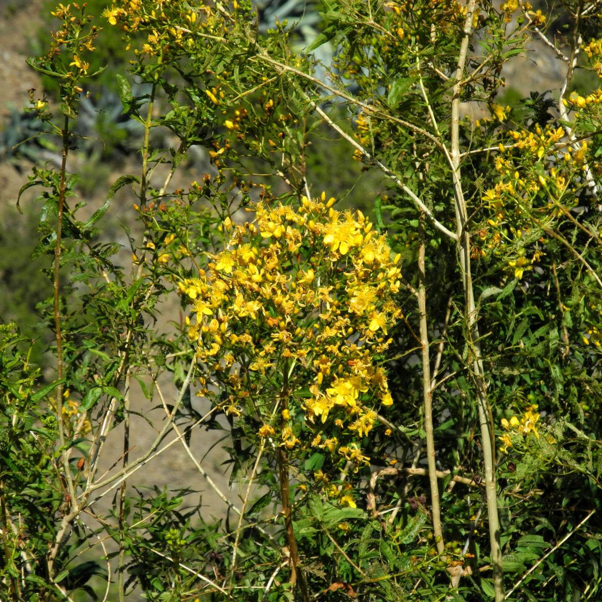 Kanarisches Johanniskraut Bluete gelb Hypericum canariensis
