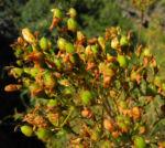 Kanarisches Johanniskraut Bluete gelb Hypericum canariensis 10