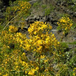 Kanarisches Johanniskraut Bluete gelb Hypericum canariensis 11