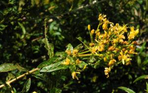Kanarisches Johanniskraut Bluete gelb Hypericum canariensis 12
