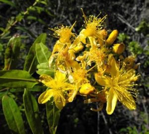Kanarisches Johanniskraut Bluete gelb Hypericum canariensis 13