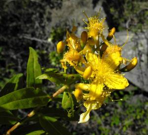 Kanarisches Johanniskraut Bluete gelb Hypericum canariensis 14