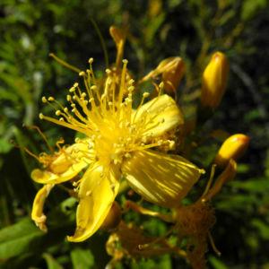 Kanarisches Johanniskraut Bluete gelb Hypericum canariensis 15