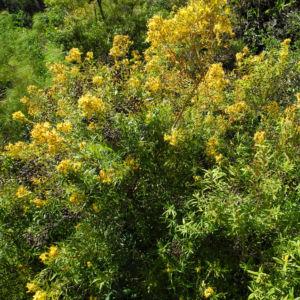 Kanarisches Johanniskraut Bluete gelb Hypericum canariensis 17