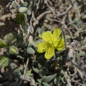 Kanarisches Sonnenroeschen Bluete gelb Helianthemum canariense 02